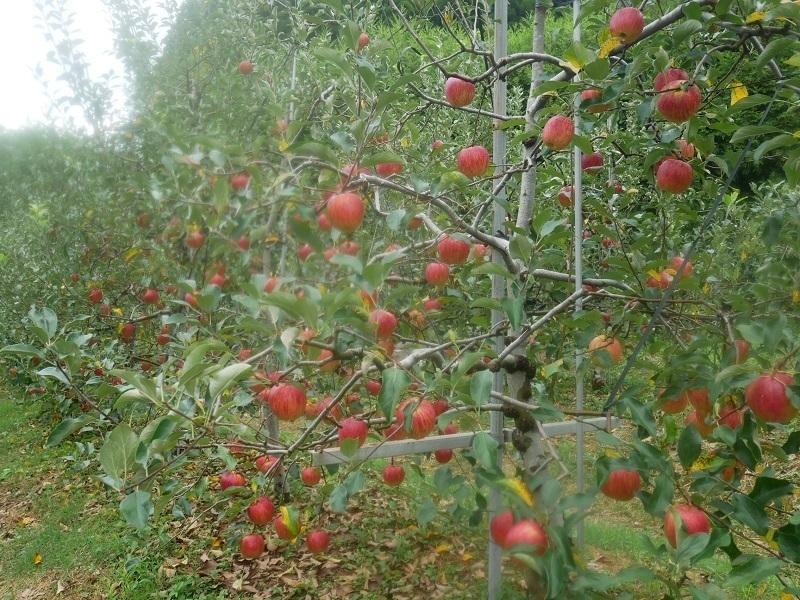 りんごの実.jpg